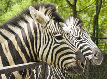 Two heads of zebra Stock Photo
