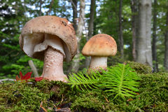 Two healthy Blusher mushrooms Stock Image