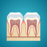 Two healthy human tooth in cutaway Stock Photo