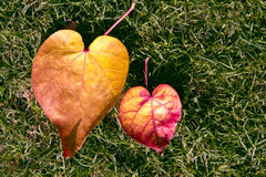 Two Heart Shape Leaf. Couple heart shape fallen leaf with green grass background Stock Photo