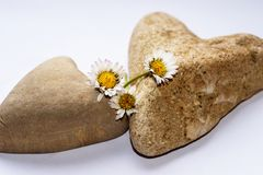 Two hearts from stone with three daisies royalty free stock photos