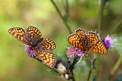 Two Heath Fritillary butterflies Stock Photo