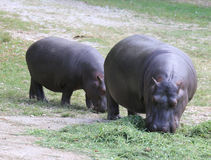 Two heavy while hippos eat grass. Cpuple of thick and heavy while hippos eat green grass Stock Photography