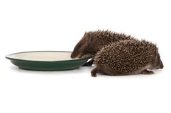 Two hedgehogs Stock Photography