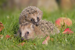 Two hedgehogs Stock Image