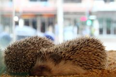Free Two Hedgehogs Are Sleeping In A Glass Terrarium Stock Images - 140589584