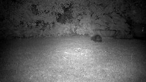 Two hedgehogs fighting on house lawn at night. Two hedgehogs fighting on house lawn at night in monochrome with infra red camera stock footage