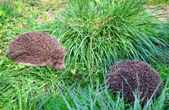 Two hedgehogs in the grass close-up Stock Photos