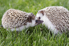 Two hedgehogs outside. In the grass Stock Photo