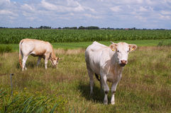 Two heifers of the Blonde d'Aquitane breed Stock Photography