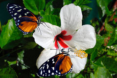 Two Heliconius hecate butterflies. Hibiscus flower with 2 Heliconius hecate butterflies Stock Photos