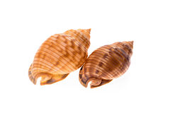 Two Helmet sea shells - Galeodea echinophora. Empty house of sea Royalty Free Stock Photography