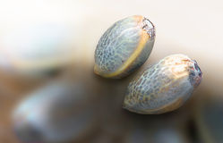 Two hemp seeds. Close view of two hemp seeds in a blurred background royalty free stock photo