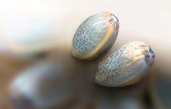 Two hemp seeds Royalty Free Stock Photo