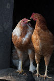 Two hen with attitude Stock Photography