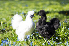 Two hen staring at each other. White chiken in front of the black one Stock Images