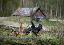 Two Hens Royalty Free Stock Photos