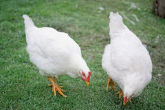 Two hens Royalty Free Stock Images