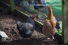 Two hens in a coop Royalty Free Stock Image