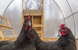 Two hens Royalty Free Stock Photo