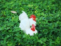 Two hens enjoy the Brazil beans lawn Royalty Free Stock Image