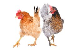 Two hens isolated. Two hens standing  isolated on white background stock photography