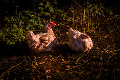 Two Hens Laying Eggs Royalty Free Stock Images