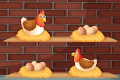 Two hens laying eggs at the wooden shelves Stock Photo