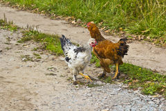 Two hens Royalty Free Stock Image