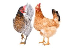 Two hens standing together. Isolated on white background stock image