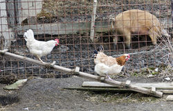 Two hens walking on a chicken ladder Stock Images