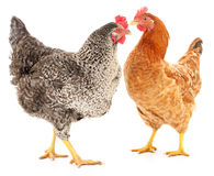 Two hens. On white, studio shot Royalty Free Stock Images