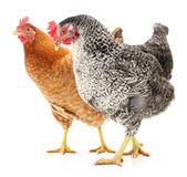 Two hens Stock Photo