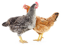 Two hens Stock Photos