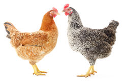 Two hens. On white, studio shot Royalty Free Stock Photography