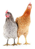 Two hens. On white, studio shot Stock Photography
