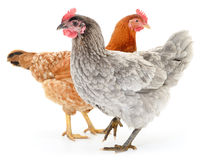 Two hens Stock Images