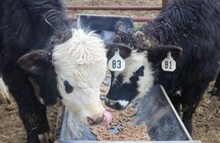 Two herford angus mixed yearlings eating out of a trough - one licking its nose stock image