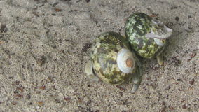 Two Hermit crabs crawling on the sand. Thailand, Similan Islands stock footage