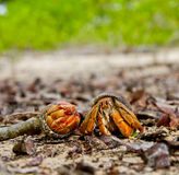 Two hermit crabs o the beach, Galapagos Islands Royalty Free Stock Images