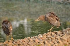 Two Heron Royalty Free Stock Photo