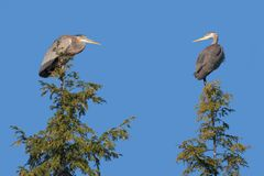 Two Heron On Top of Pine Trees. A pair of herons look at each other while sitting on top of two pine trees in a blue sky stock photo