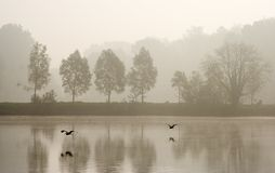 Two herons. Flying over pond in a misty morning Stock Image