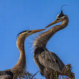 Two herons royalty free stock photo