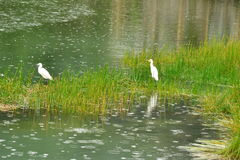 Two herons Royalty Free Stock Images
