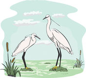 Two herons in the marsh Stock Photography