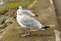 Two Herring Gulls (seagulls) Stock Images