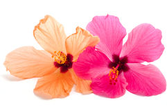 Two hibiscus flower Royalty Free Stock Photo