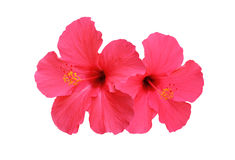 Two hibiscus flower isolated on white background Stock Photography