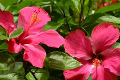 Two Hibiscus flowers Stock Images